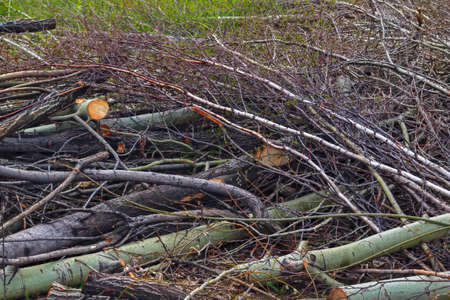 eliminating the effects of hurricane.cleaning felled trees sawed tree branches close-up