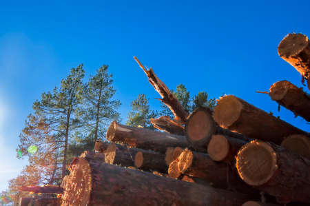 Wooden logs of pine woods in the forest, stacked in a pile. Stock Photo