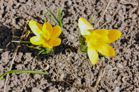 Young sprouts of yellow spring crocus flowers on a bed close-up.