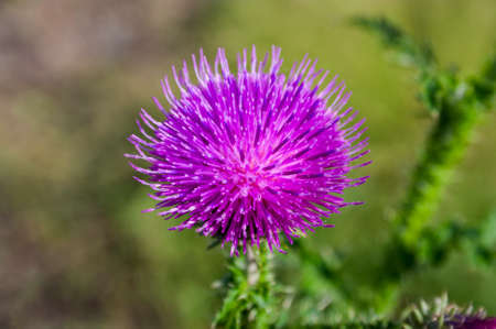 Wild thistle with a blooming pink flower on a green blurred background. Reklamní fotografie