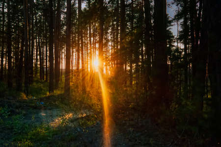 The suns rays make their way through the branches, the sunset in the pine forest. 写真素材