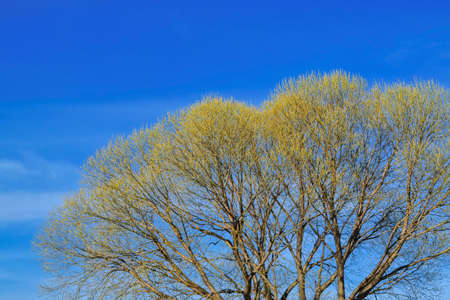 The crown of the tree Salix fragilis with blossoming leaves in spring, against the blue spring sky.