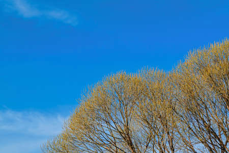 The crown of the tree Salix fragilis with blossoming leaves in spring, against the blue spring sky. Stockfoto - 123216400