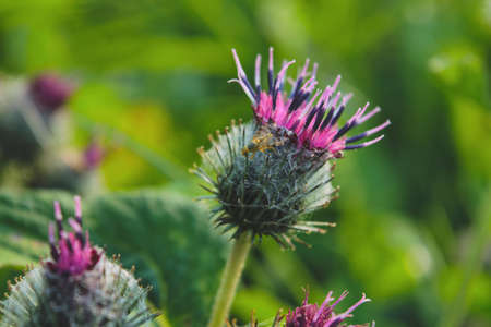 Bright flower burdock on a blurred background close-up.