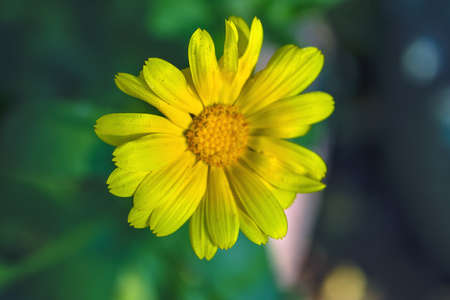 The yellow flower Sunflower plant Heliopsis helianthoides.