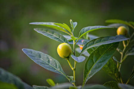 The bright green berry of solanum or nightshade. Stock Photo