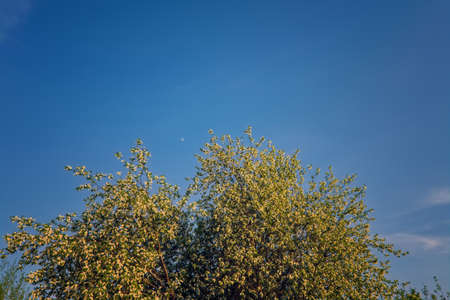 Blooming branches of the apple tree on the background of the blue sky soft focus. Apple-tree flowers in the light of the sunset. Stockfoto