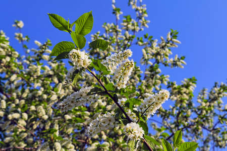 Blooming branches of the apple tree on the background of the blue sky soft focus. Apple-tree flowers in the light of the sunset. Stock Photo