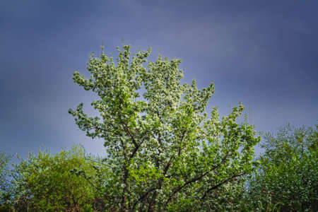 Blooming branches of the apple tree on the background of the blue sky soft focus. Apple-tree flowers in the light of the sunset. Stockfoto - 123247146