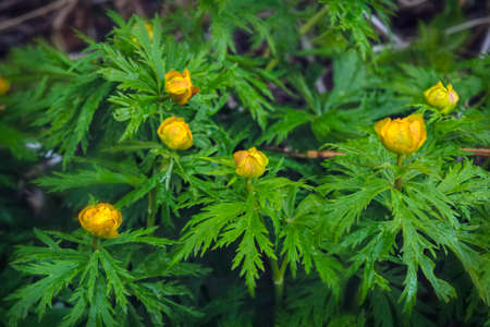 Spring flowers on a blurred background. The globeflower. Yellow flowers Trollius.