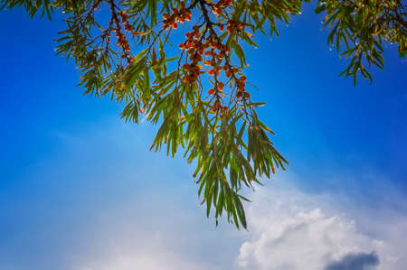 Branch of wild forest buckthorn against a blue summer sky with light white clouds