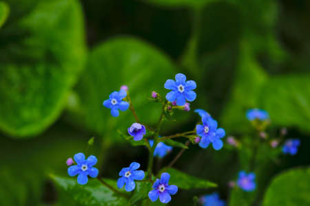 Blue flowers forget-me-not spring background.