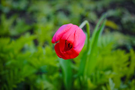 Red tulip on blurred background. Red tulip on green field. Close up of beautiful tulip flower.