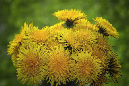 Bouquet of dandelions on a background of green grass. Spring background with the flowers.
