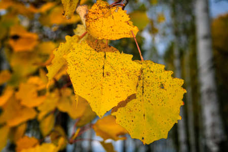 Falling autumn birch leaves against blur forest background