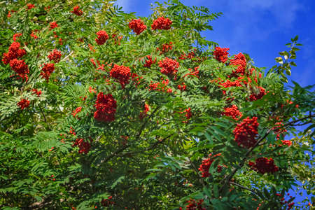 Rowan branches with ripe red fruits lit by sunlight against the sky