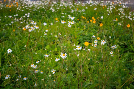 Lawn with green grass and flowers close-up. Little white Daisy.