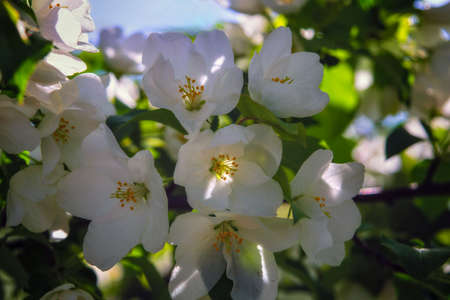 Apple Tree White Flowers Spring Blossom Close Up