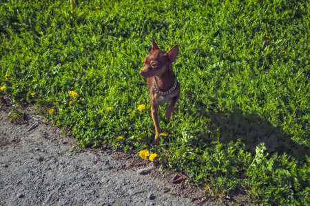 A small dog of brown color of the breed Prague Ratter on a walk in the park.