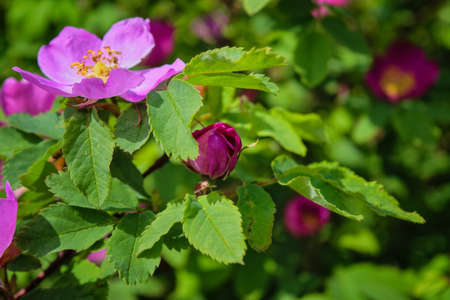 Blooming branches of wild rose on a blurred background. Summer.