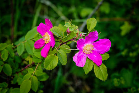 Branches of flowering rose hips on a background of blurred greenery. Beautiful natural background with flowers of a dogrose. Banque d'images