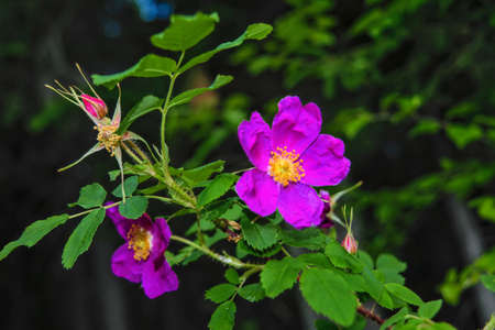 Dogrose flowers on a blurred background. Branches of flowering rose hips on a background of blurred greenery.