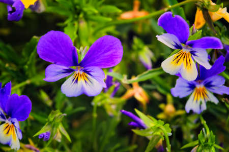 Summertime floral card with bright garden of tricolor viola flowers.