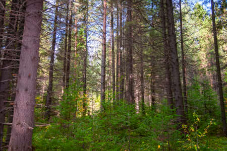 Coniferous Forest tree Background wild woods landscape.