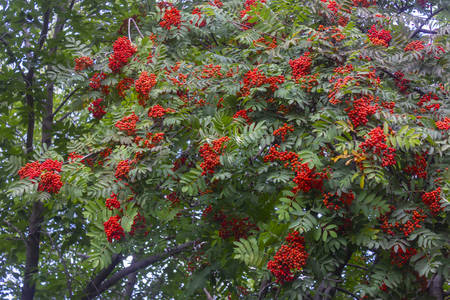 Red rowan berries on the rowan tree branches, ripe rowan berries closeup and green leaves.