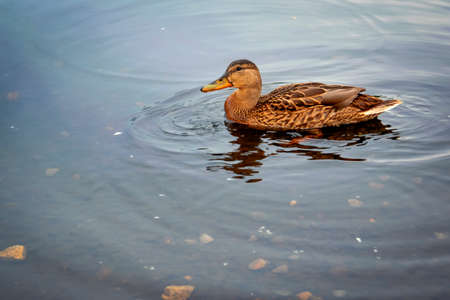 Female wild duck swims on the river, close-up. Stockfoto