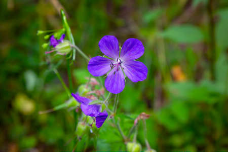Wild flower. A geranium flower growing on a summer meadow. Stockfoto