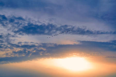 A flock of swans flying wedge in the evening sunset sky.