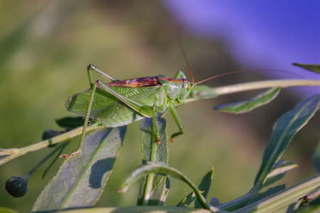 Grasshopper green, or grasshopper ordinary - a type of insects from the family of Real grasshoppers of the order Orthoptera. Stockfoto - 133307050