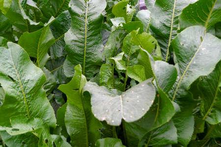 Green horseradish leaves on the garden bed closeup. Standard-Bild