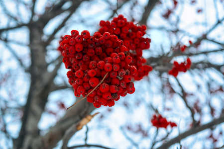 A tree blooming with Rowan berries in the fall. Bunches of mountain ash in the winter.