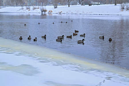 A flock of wild ducks wintering on the river in a city park.