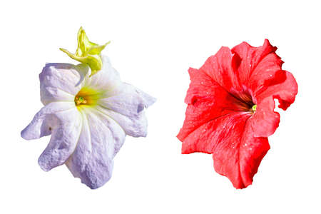 Two petunia flowers of red and white color isolate on a white background.