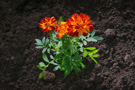 Tagetes in the garden. Tagetes garden flowers. Tagetes - magic flowers.