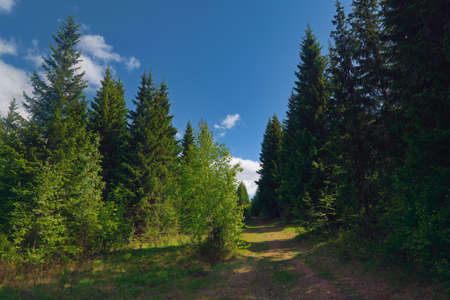 Dirt road in the green forest. Country road surrounded by tall fir trees during bright sunny day.