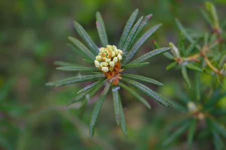 Ledum palustre or Rhododendron tomentosum plant in forest, close up view. 免版税图像