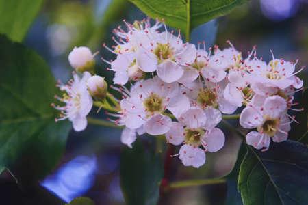 The hawthorn shrubs. Crataegus oxyacantha flower healing.