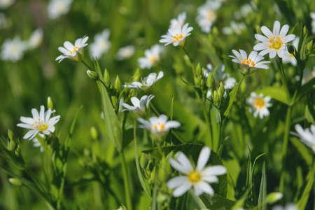 Macro of white Stellaria media flowers or chickweed under the soft spring sun. 免版税图像