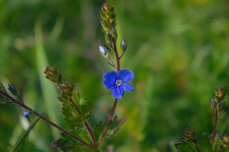 Closeup veronica chamaedrys called germander speedwell on spring meadow.