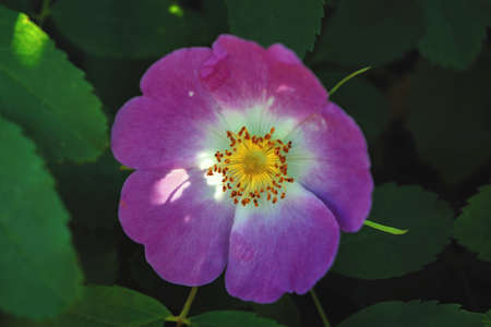Flower of wild rose on the background of green foliage. Summer season.