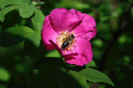 Red flower of rose hips and the bee that pollinates them.