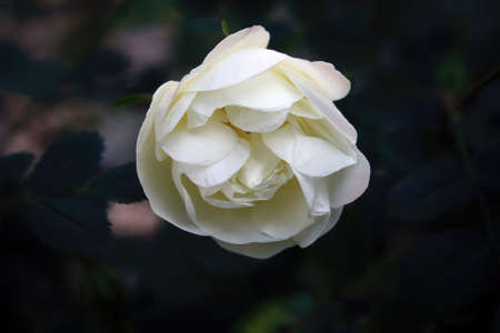 White rose flower head on a background of green foliage. 免版税图像