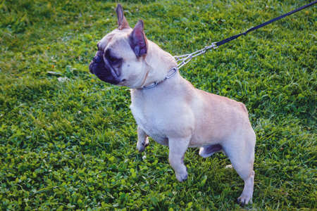 Dog breed French Bulldog of light color walks in the forest on a green lawn. French Bulldog on green grass background. 免版税图像
