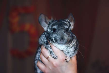 Female hand holds a beautiful young gray chinchilla on a blurred background. 免版税图像