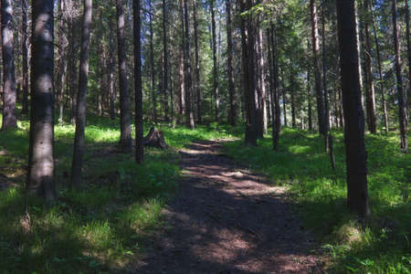 Forest closeup, beautiful summer landscape, sunlight shines through branches, trees with shadows and trail.