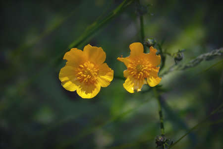 Caltha palustris, known as marsh-marigold and kingcup, is a small to medium size perennial herbaceous plant of the buttercup family. 免版税图像